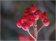 Fig.7- Baies ovoïdes, rouges à orangées.