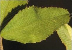 Fig.5- Foliole finement dentée, tronquée ou échancrée au sommet.
