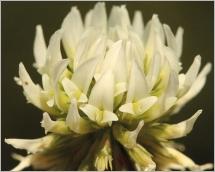 Fig.5- Fleurs blanches rassemblées en inflorescence dense.